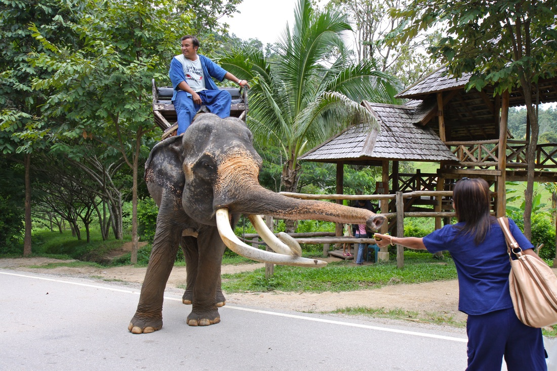 Amporn and the elephant in City Lampang Thailand