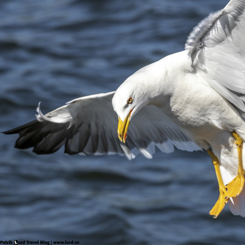 Silltrut, Lesser black-backed gull, Larus fuscus © Patrik Lord Travel Blog