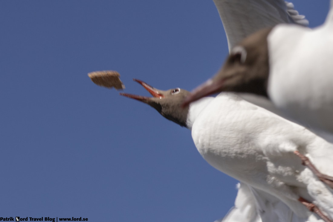 Skrattmås, Blackheaded gull, Larus ridibundus © Patrik Lord Travel Blog