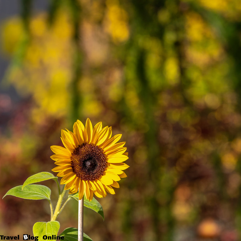 Stockholm, Sweden, Autumn, Sunflower © www.travelblogonline.com
